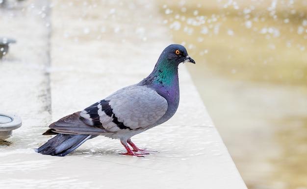Pigeon gris à la fontaine par temps chaud_