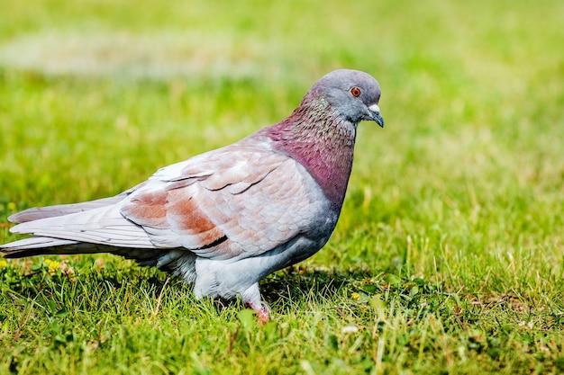 Pigeon gris sur l'herbe verte par temps ensoleillé