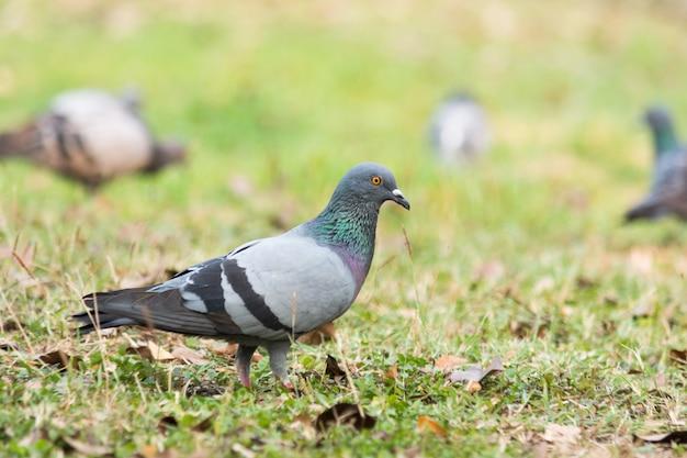 Pigeon sur l'herbe dans le parc, rock dove, portrait d'un pigeon