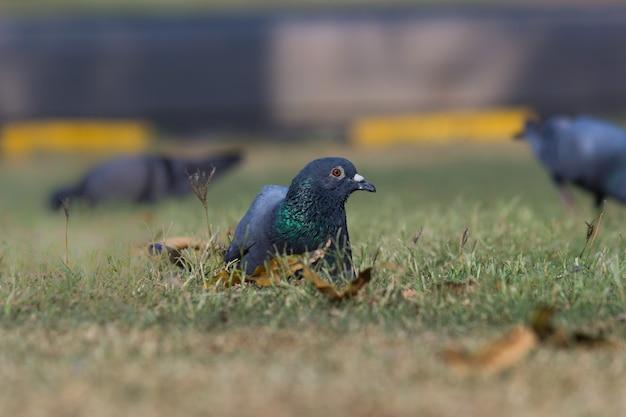 Pigeon indien ou pigeon biset reposant sur l'herbe