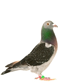Pigeon isolé blanc
