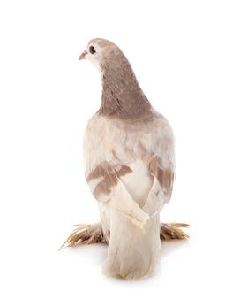 Pigeon lahore en face de surface blanche