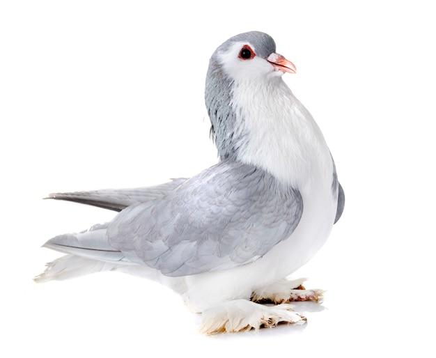 Pigeon lahore en studio