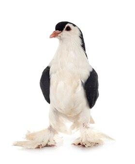 Pigeon de lahore