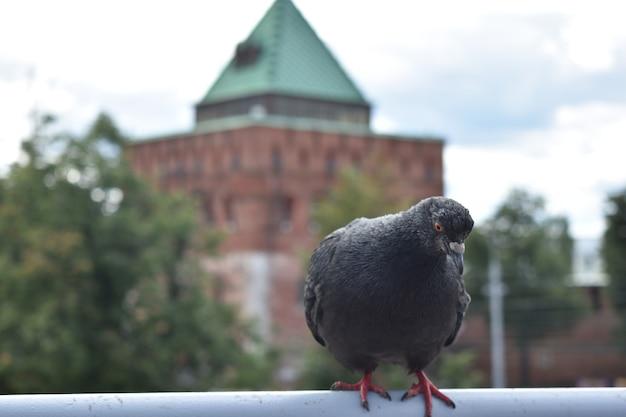 Pigeon d'oiseau dans le contexte du kremlin