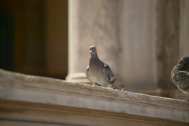 Pigeon perché dans une main courante en marbre en gros plan.