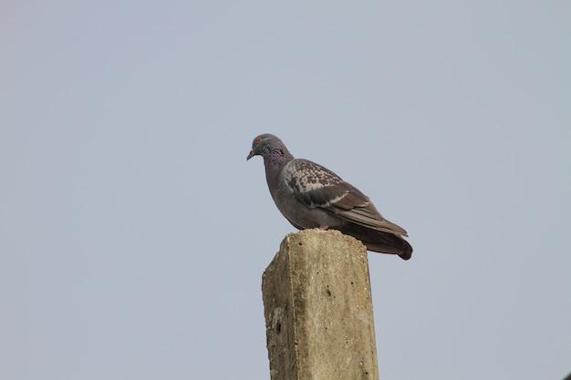 Pigeon pommier