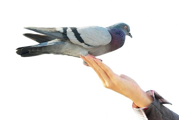 Pigeon à portée de main