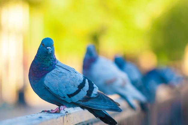 Pigeon posant au bord d'un pont.