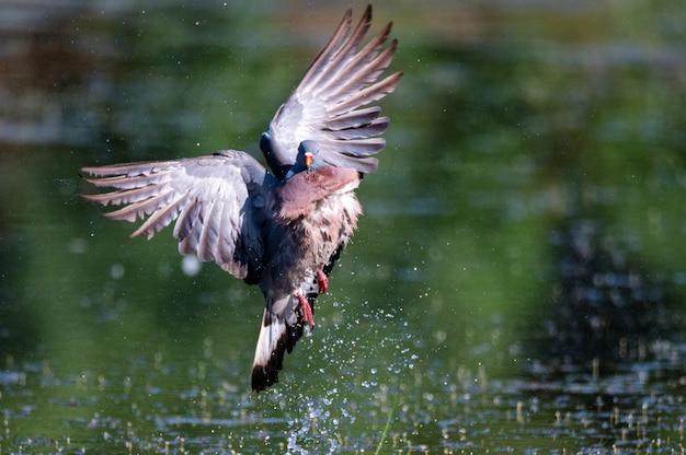 Pigeon ramier ou columba palumbus