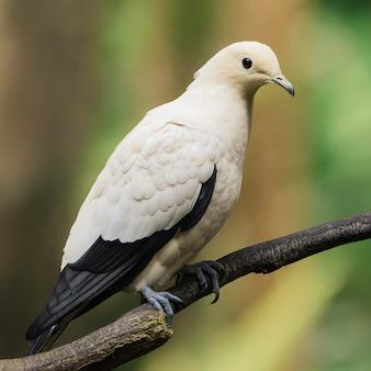 Pigeon royal impérial