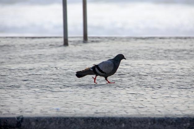Pigeon sur le trottoir de copacabana