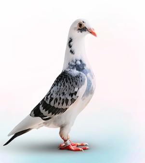 Pigeon voyageur debout sur fond blanc