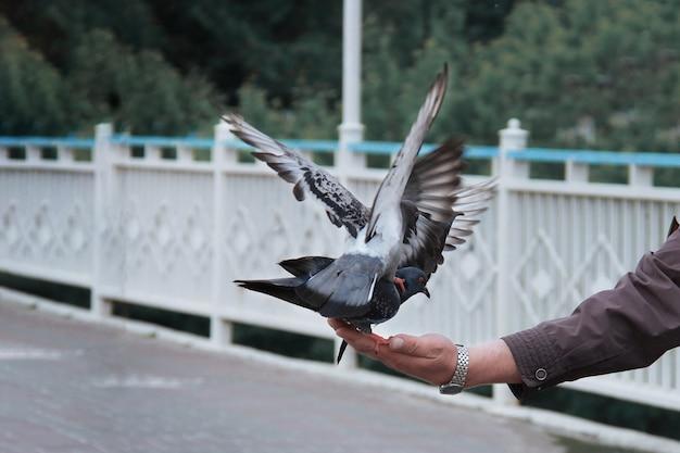 Pigeons assis sur la main d'un homme