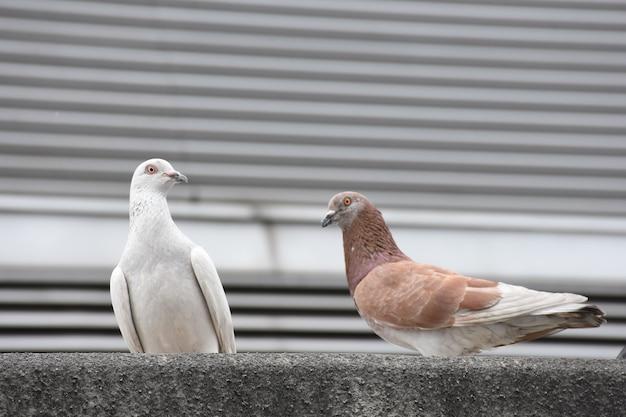 Pigeons blancs et bruns accrochés au sol en ville avec fond de ville