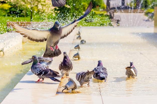 Les pigeons boivent de l'eau à la fontaine et recherchent la fraîcheur par une journée chaude