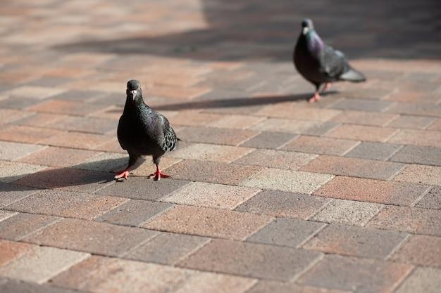Pigeons dans la ville