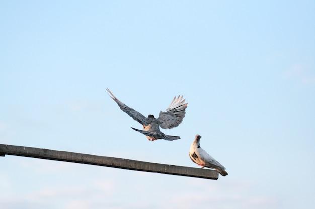 Les pigeons domestiques blancs sont assis sur un perchoir et volent vers le ciel.
