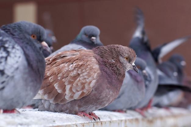 Pigeons ébouriffés en hiver dans la rue, asseyez-vous sur une rangée.