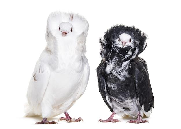 Pigeons jacobins noirs et blancs en portrait contre une surface blanche