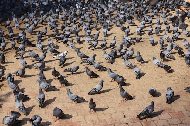 Pigeons sur la place durbar