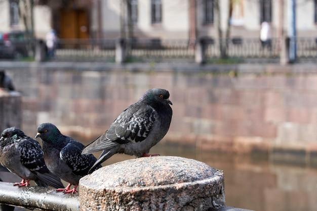 Les pigeons s'assoient sur le parapet de granit du remblai