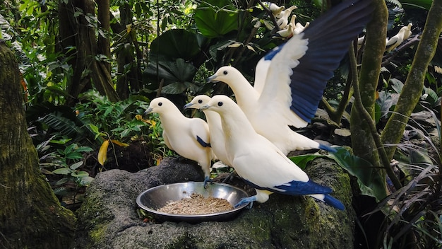 Pigeons sauvages affamés blanc et bleu manger du bol