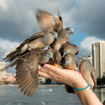 Pigeons se nourrissant de la main d'une personne, waikiki, diamond head, kapahulu, saint-louis, honolulu, oahu, ha
