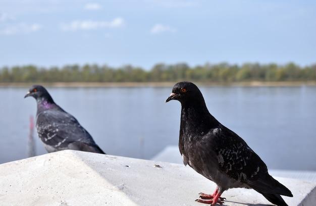 Les pigeons se reposent au bord de la rivière