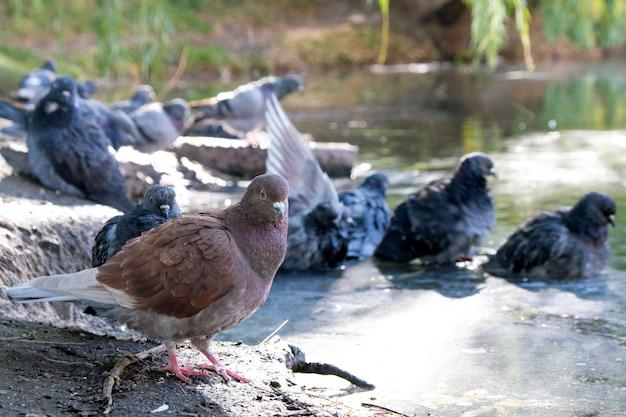 Les pigeons de la ville nagent dans une flaque d'eau sur une route goudronnée après une pluie d'automne par temps nuageux