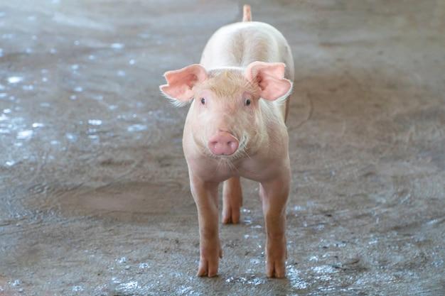 Piggy de 2 mois qui a l'air en bonne santé dans une ferme porcine loca.