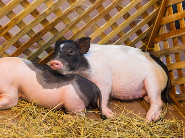Piggy couché dans une stalle de mammifère