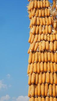 Pile de maïs avec fond de ciel bleu clair.