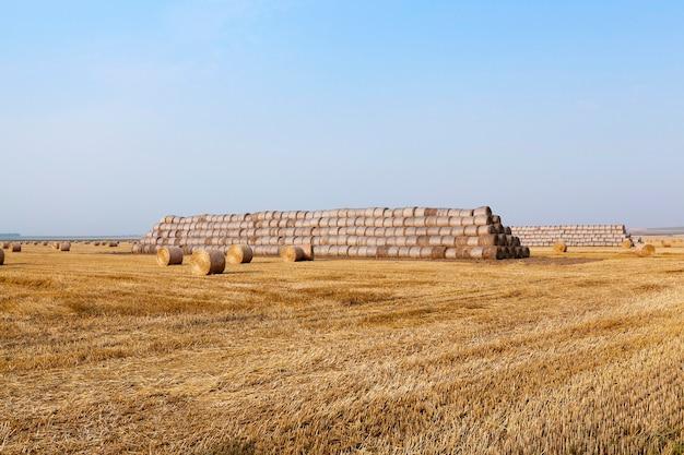 Pile de paille dans le domaine champ agricole sur lequel empilés des meules de foin de paille après la récolte de blé