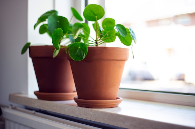 Pilea peperomioides, chinese money plant, ufo plant ou pancake plant in retro modern design home decoration