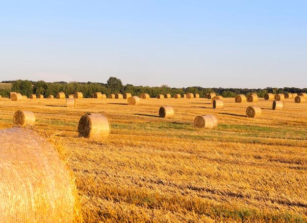 Piles cylindriques de paille après récolte de céréales