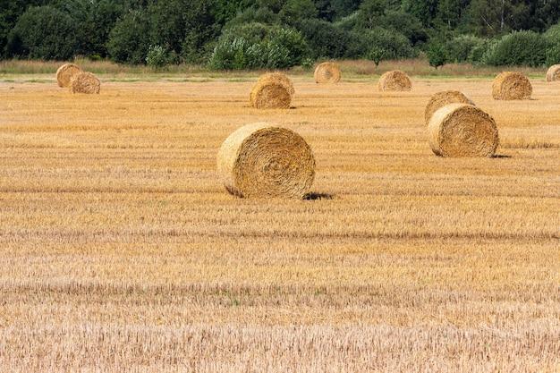 Piles cylindriques de paille sur un champ de blé après la récolte, paysage d'été