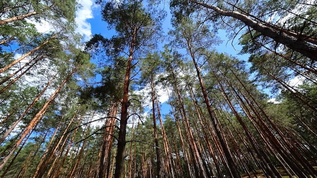 Piliers lisses de la forêt de pins, les pins poussent et s'étendent vers le ciel