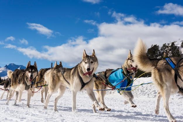 Pilote de traîneau à chiens musher et husky sibérien à la course de compétition d'hiver de neige en forêt