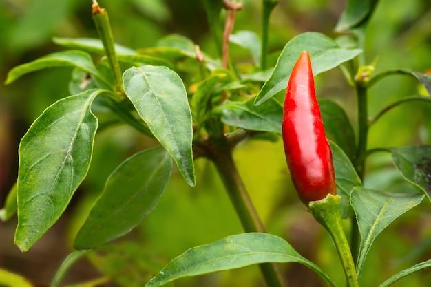 Piment birds eye ou cili padi un type de piment rouge qui est petit et a un goût très piquant