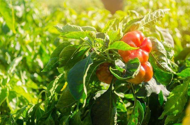 Le piment bulgare rouge pousse dans le champ. cultiver des légumes biologiques. produits écologiques.