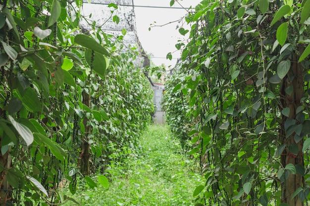 Piment de ceylon vert frais (piper nigrum linn) sur un arbre dans la nature