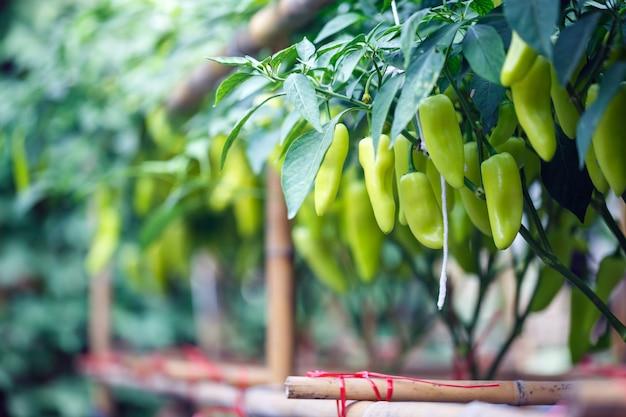 Piment long, piment vert, suspendu à un arbre dans le jardin