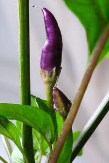 Piment violet chaud dans un pot en terre à la maison sur un plan rapproché d'intérieur de rebord de fenêtre