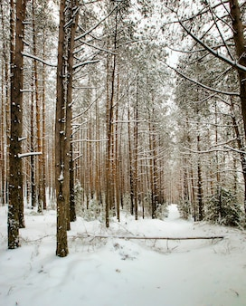 Pin couvert de neige pin en hiver