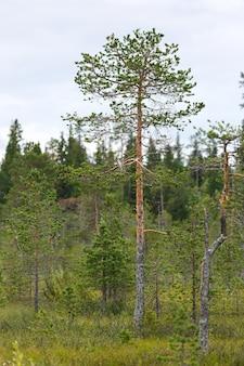 Pin dans une forêt mixte dans un marécage de la toundra.