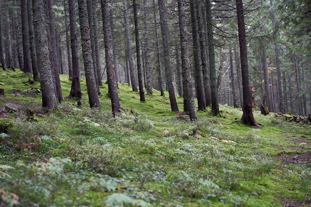 Pin forêt de montagne saison d'automne beau paysage horizontal photo