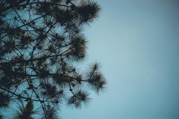 Pin et pin se produit dans les montagnes pendant les arbres d'hiver froids. et le pin est sec.