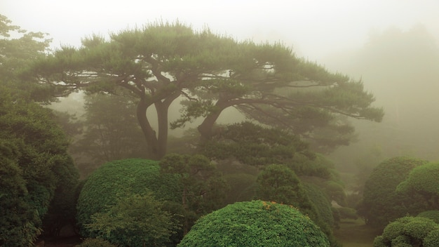 Pin pittoresque et buissons taillés dans un jardin japonais brumeux par l'heure d'été