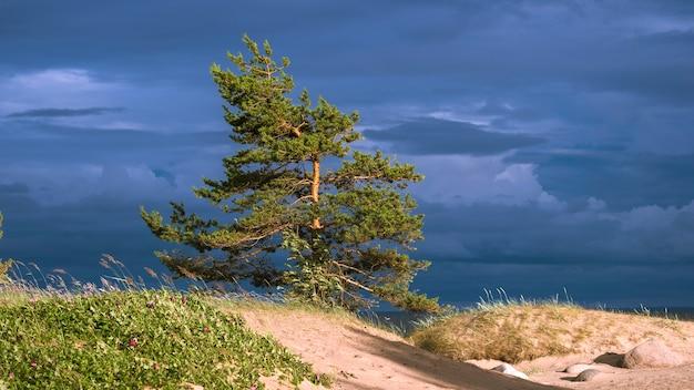 Pin solitaire d'un ciel orageux sur les dunes de la mer baltique